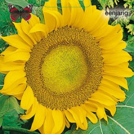 Helianthus a. Sunspot