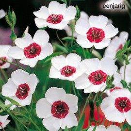 Linum grand. Bright Eyes