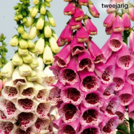 Digitalis pur. Splendour