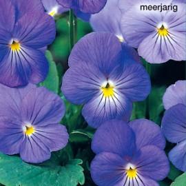 Viola c Blue Perfection