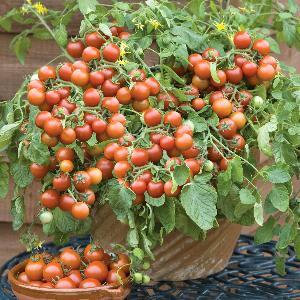 tomaten pot cherry falls zaden online. Black Bedroom Furniture Sets. Home Design Ideas